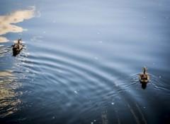 Animaux ondes des canards