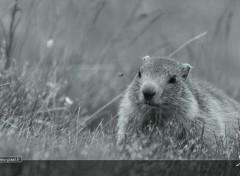 Animaux Une marmotte louche sur une mouche
