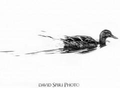 Animaux Black Duck