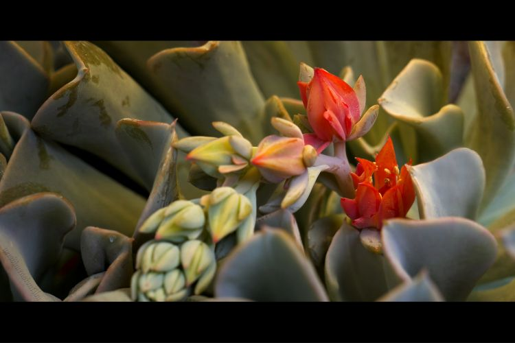 Wallpapers Nature Cactus ECHEVERIA RUNYONII