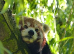 Animaux panda roux
