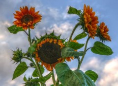 Nature Mes tournesols
