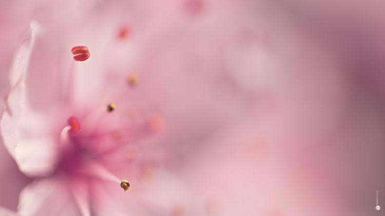 Fonds d'écran Nature Fleurs Coeur rose.
