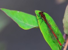 Animaux libellule