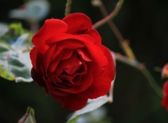 Nature rose rouge