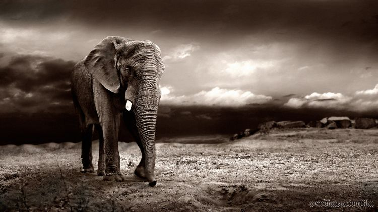 Wallpapers Animals Elephants Évasion