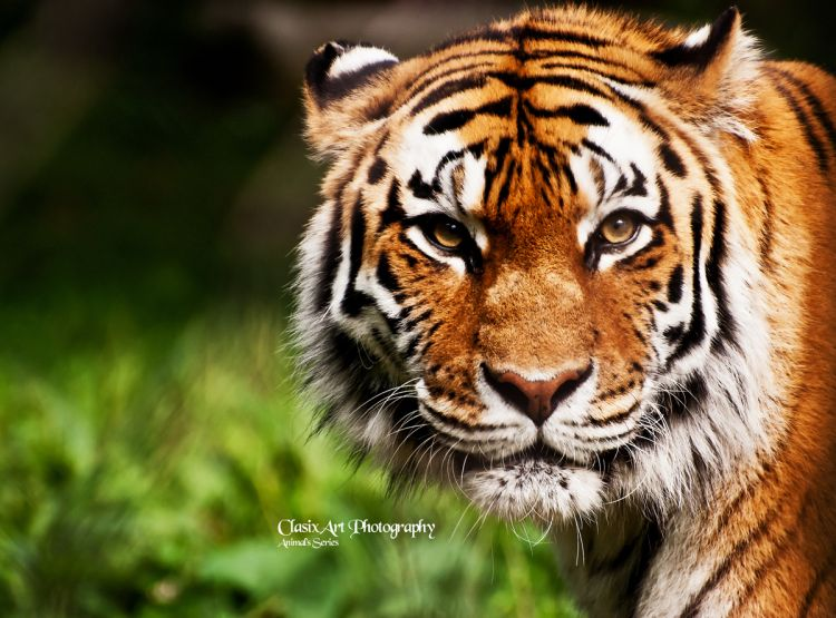 Wallpapers Animals Felines - Tigers Eyes of the tiger