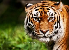 Animaux Eyes of the tiger