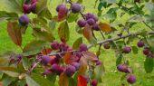 wallpaper Fruits (cat�gorie wallpapers Nature)