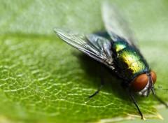 Animaux Calliphoridae