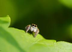 Animaux Salticidae