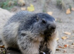 Animaux Marmotte