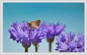 wallpaper Insectes - Papillons (cat�gorie wallpapers Animaux)