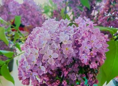 Nature Lilas