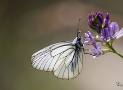 Animals papillons