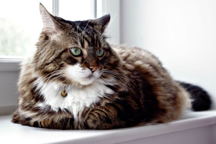 Wallpapers Animals Cats - Kittens chat de race Maine Coon