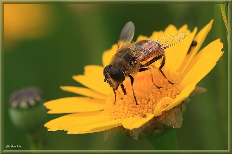 Fonds d'écran Animaux Insectes - Syrphes Wallpaper N°410721