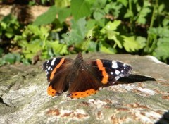 Animaux Papillon - Bain de soleil