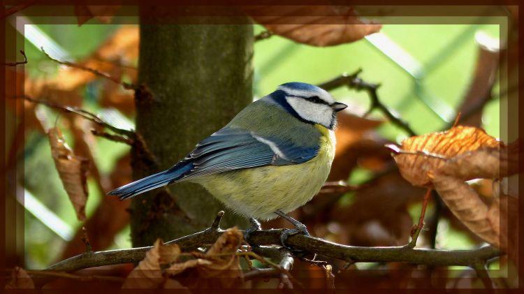 Wallpapers Animals Birds - Chickadees Mésange bleue