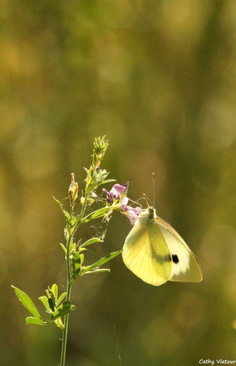 Fonds d'écran Animaux Insectes - Papillons Wallpaper N°453299