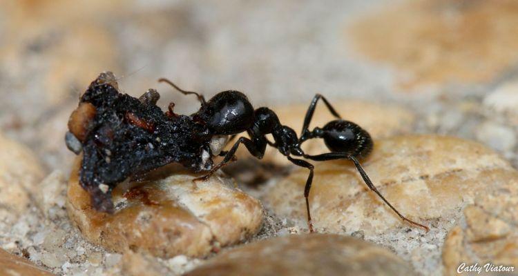 Fonds d'écran Animaux Insectes - Fourmis Wallpaper N°453313