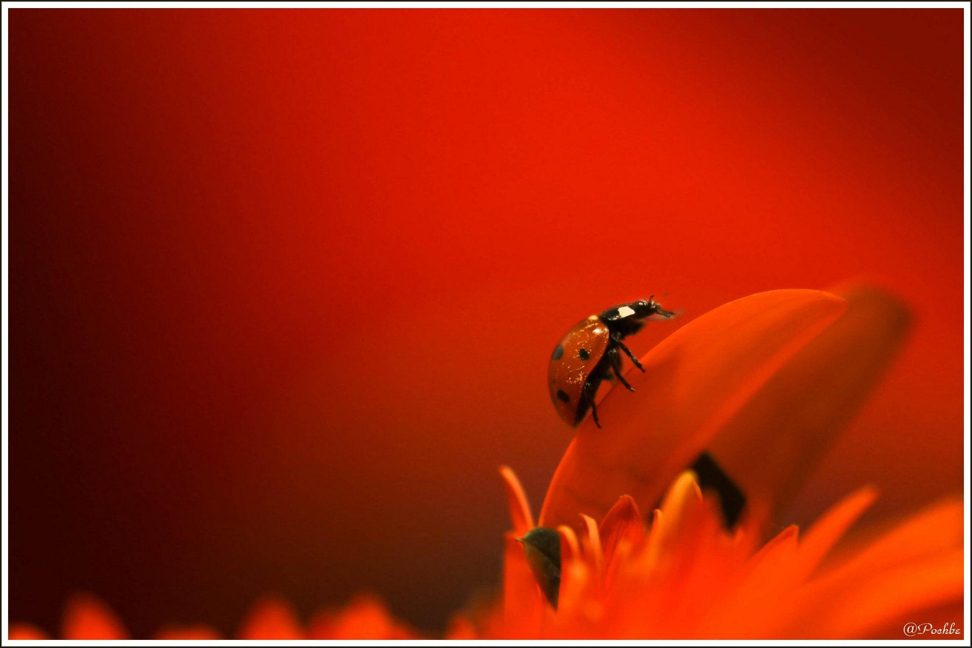 Fonds d'écran Animaux Insectes - Coccinelles