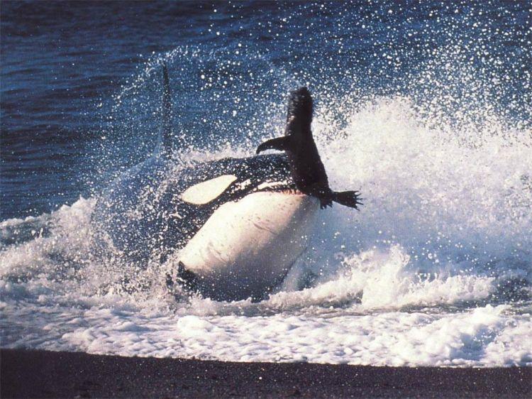 Fonds D Ecran Animaux Fonds D Ecran Vie Marine Orques