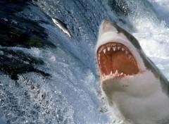 Fonds d'écran Animaux shark attack