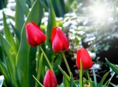 Fonds d'écran Nature Tulipes