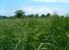 Fonds d'écran Nature Un champ de blé...