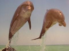 Fonds d'écran Animaux dauphins
