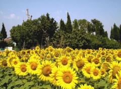 Fonds d'écran Nature champs d tournesols