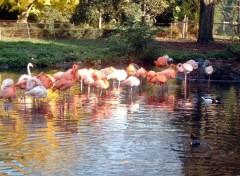 Fonds d'écran Animaux Flamingo_2