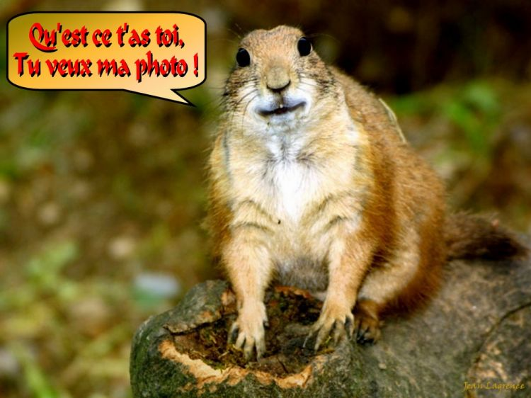 Wallpapers Humor Animals Prairie Dog