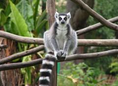 Fonds d'écran Animaux Lémur catta
