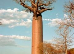 Fonds d'écran Voyages : Afrique Baobab