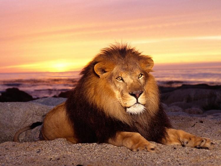 Fonds Décran Animaux Fonds Décran Félins Lions The