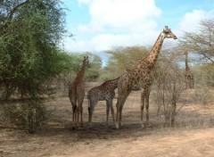 Fonds d'écran Animaux Girafes (Sénégal)