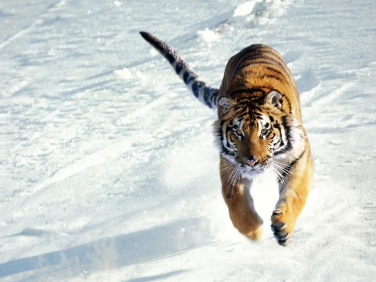 Fonds d'écran Animaux Félins - Tigres Wallpaper N°72642