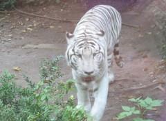 Fonds d'écran Animaux tigre blanc