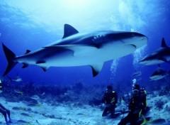 Fonds d'écran Animaux requin
