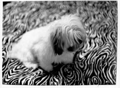 Wallpapers Animals mon chien Patou  :-)