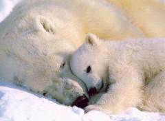 Fonds d'écran Animaux ours blanc
