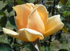 Fonds d'écran Nature Rose