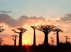 Fonds d'écran Nature coucher de soleil sur les baobabs