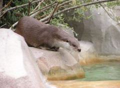 Wallpapers Animals loutre