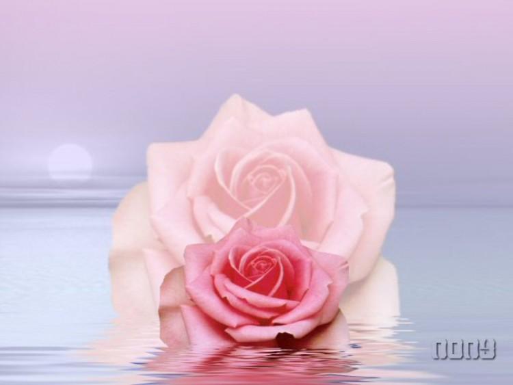 Fonds D Ecran Nature Fonds D Ecran Fleurs Rose Rose Par Kevillome