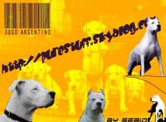 Fonds d'écran Animaux Dogo argentino