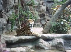 Fonds d'écran Animaux Magnifique Jaguar...Loro parque...sg-design ©
