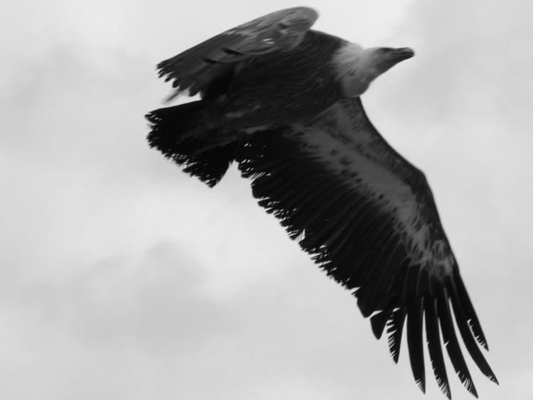 Wallpapers Animals Wallpapers Birds Eagles Laigle Noir